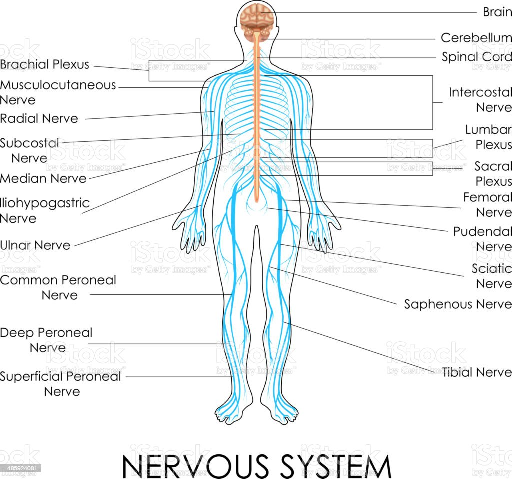 Nervous System royalty-free stock vector art