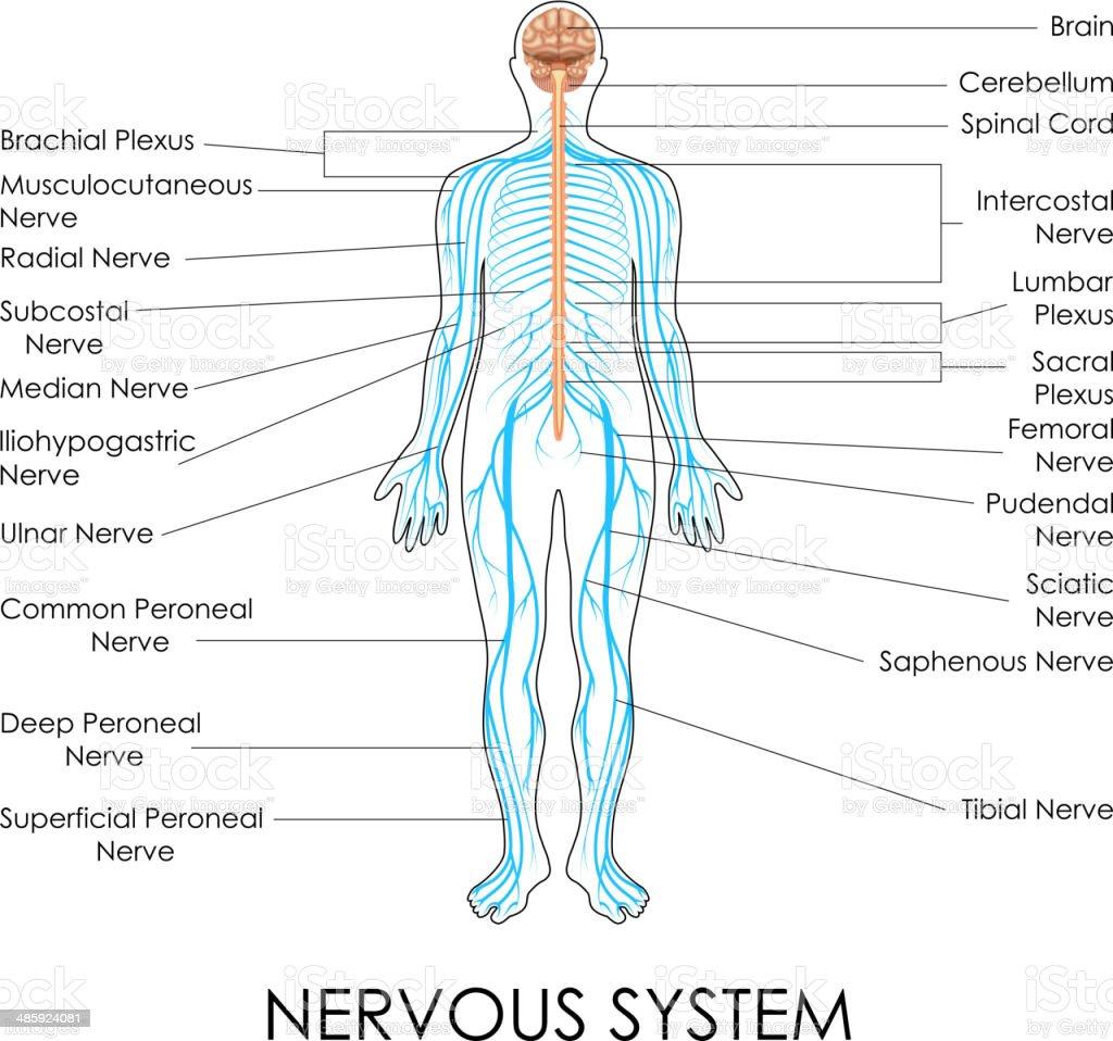 Nervous System vector art illustration
