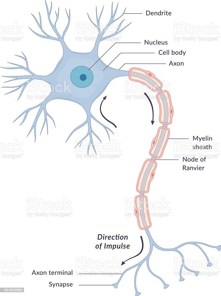Neuron Diagram vector art illustration