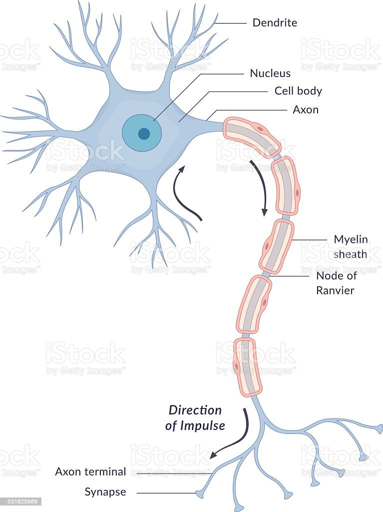 Neuron Diagram vector art illustration