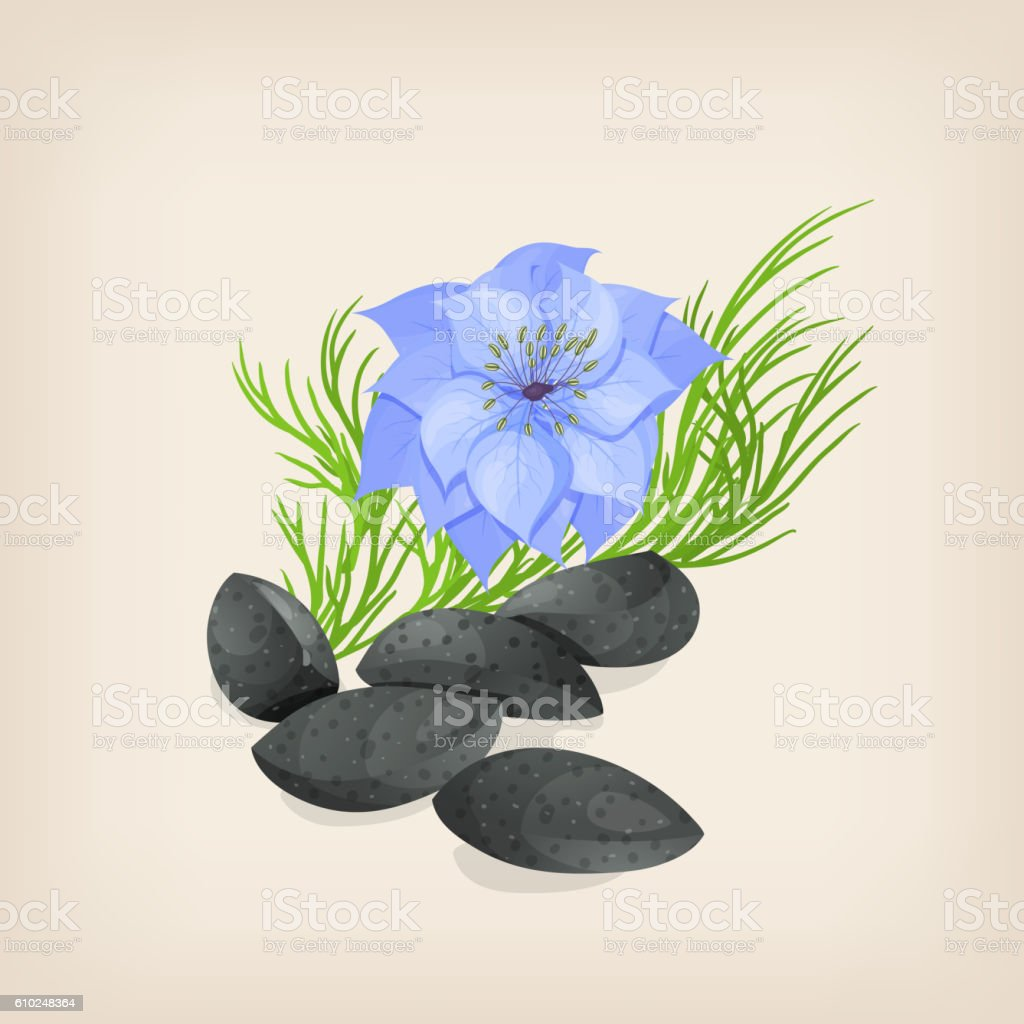 Nigella or black cumin with flowers and leaves. Vector illustration vector art illustration