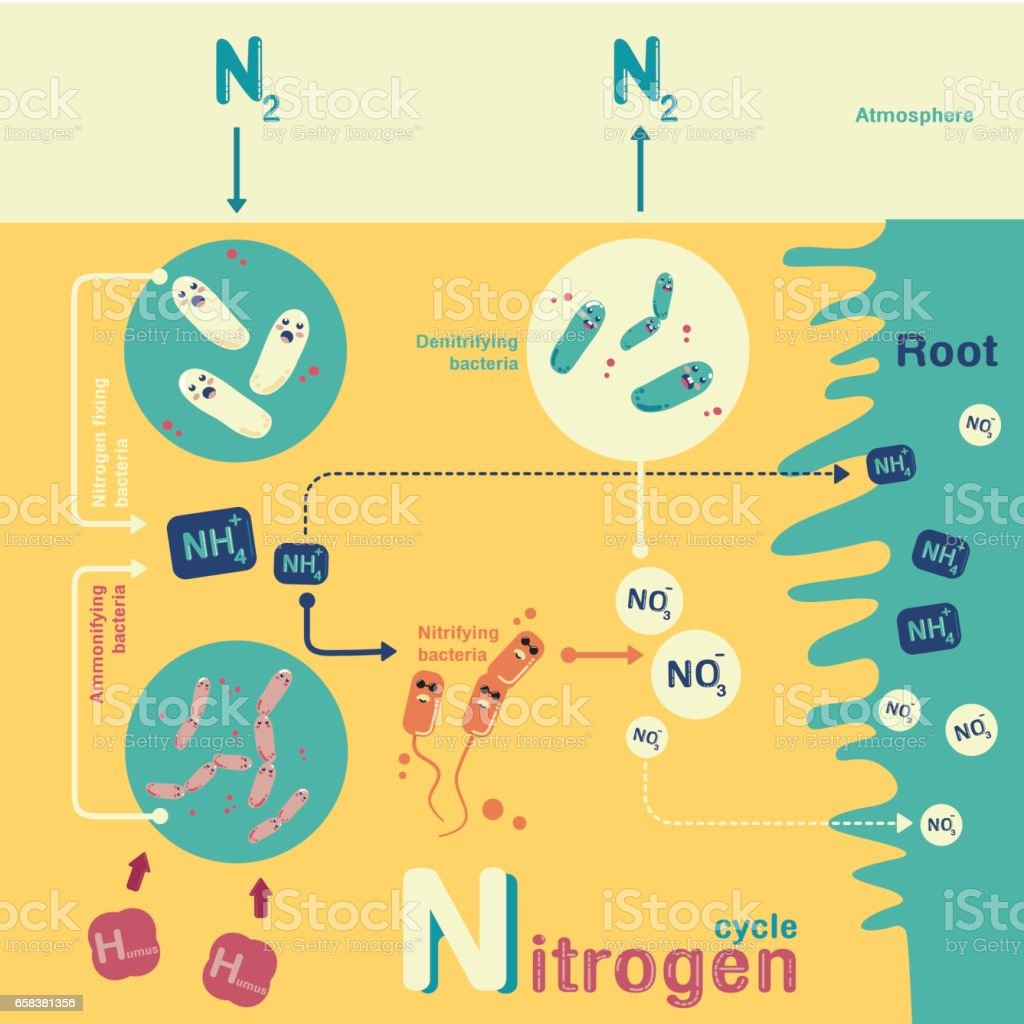Nitrogen cycle infographic vector art illustration