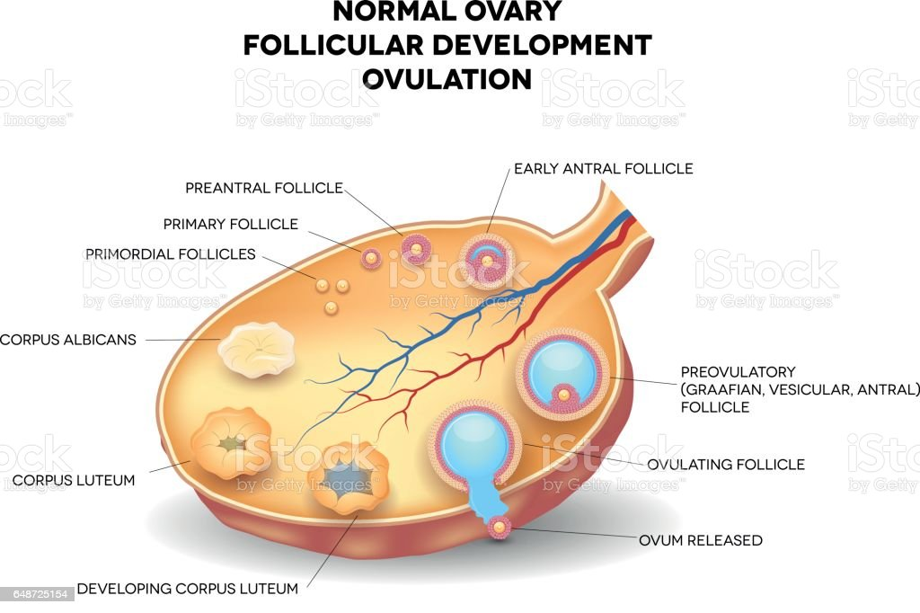 Normal ovary, follicular development and ovulation vector art illustration