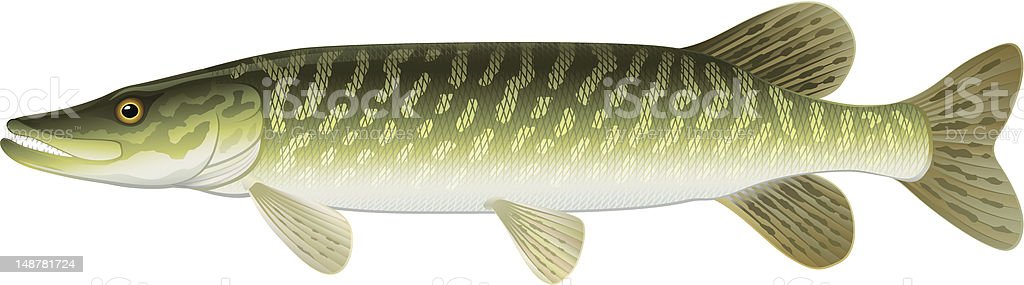 Northern Pike (Esox Lucius) Freshwater Fish. vector art illustration