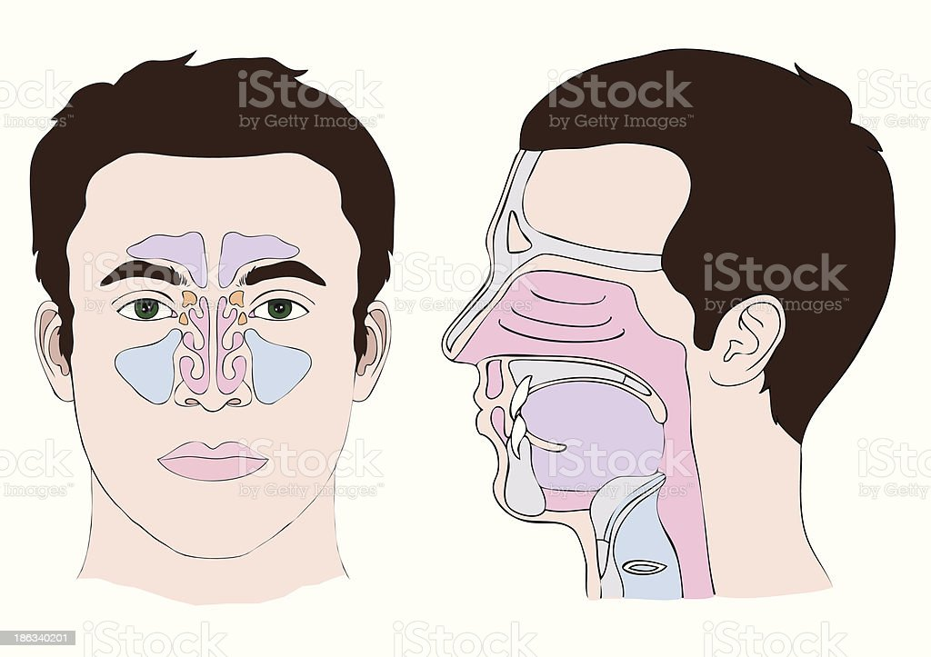 nose anatomy royalty-free stock vector art