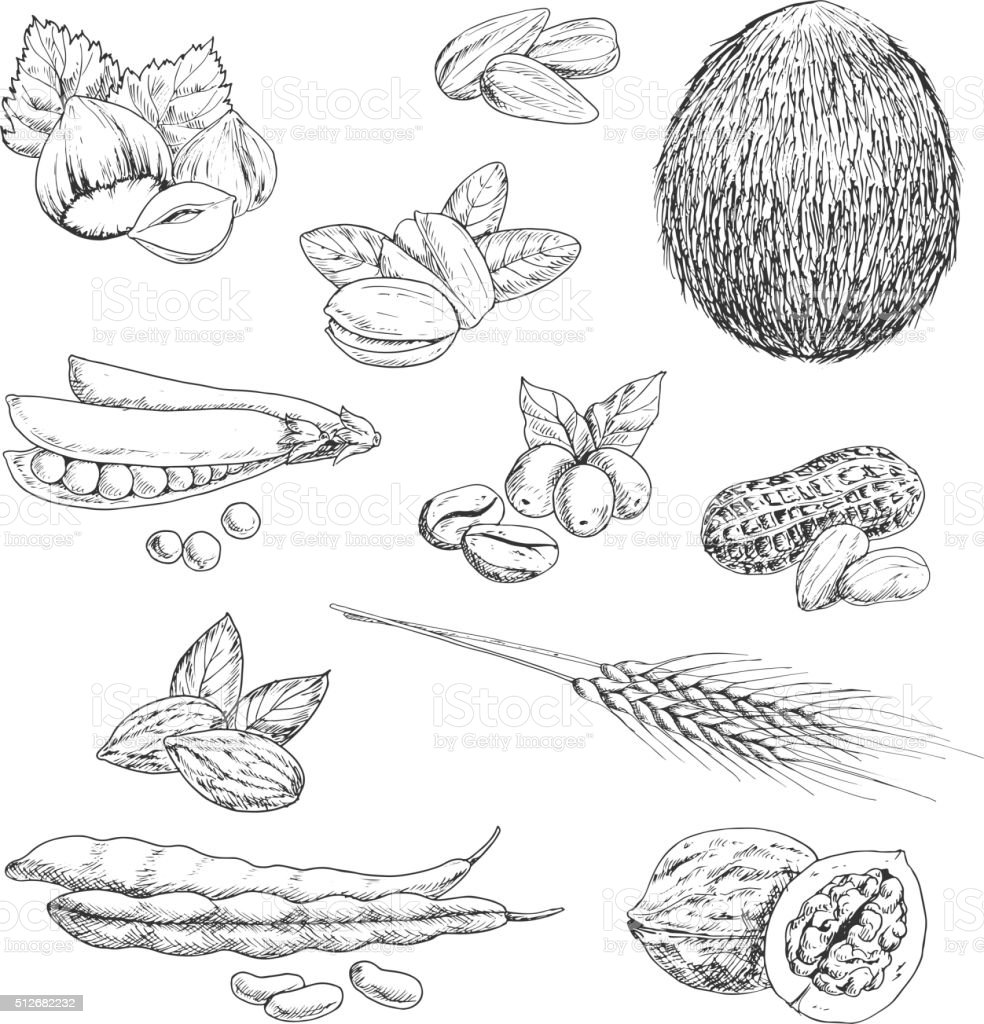 Nuts, beans, seeds and wheat sketches vector art illustration