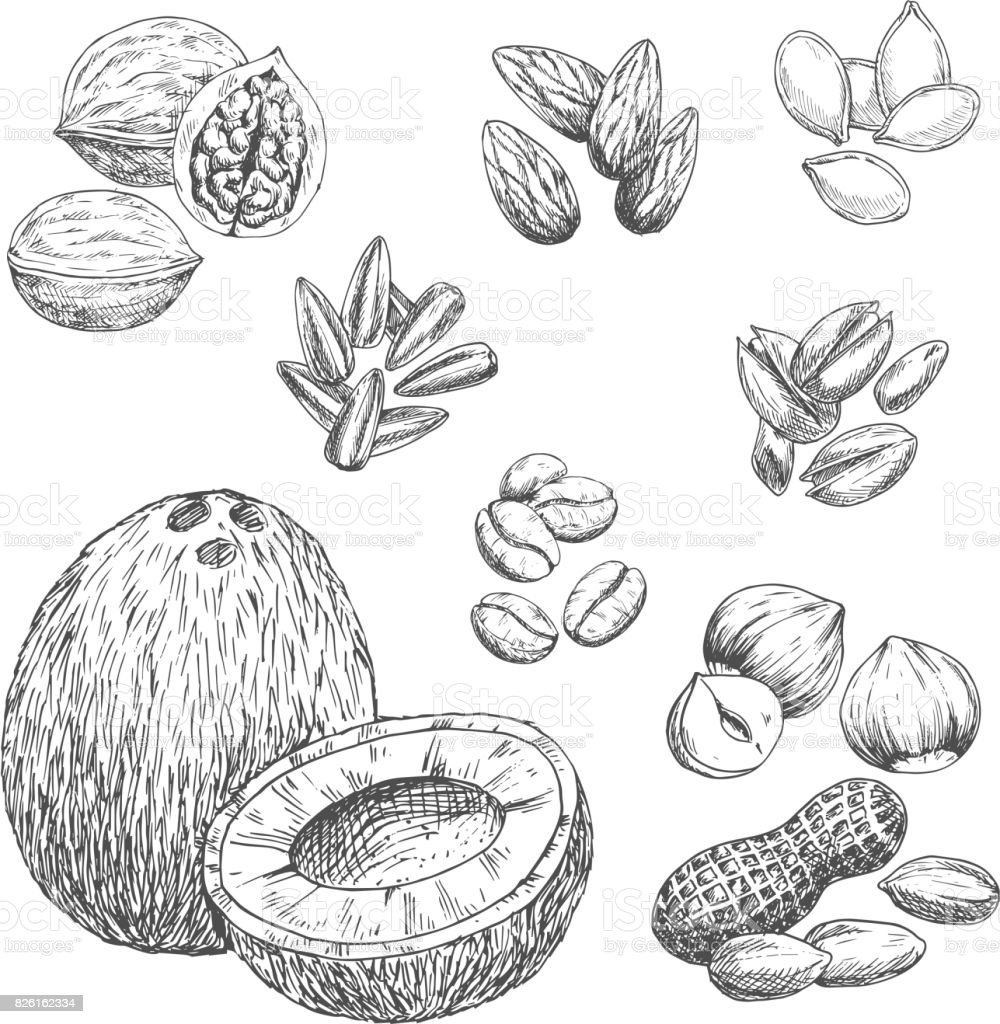Nuts, grain and seeds vector sketch icons vector art illustration