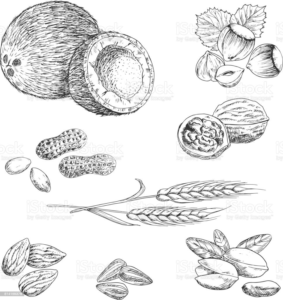 Nuts, seeds, beans and wheat sketches vector art illustration