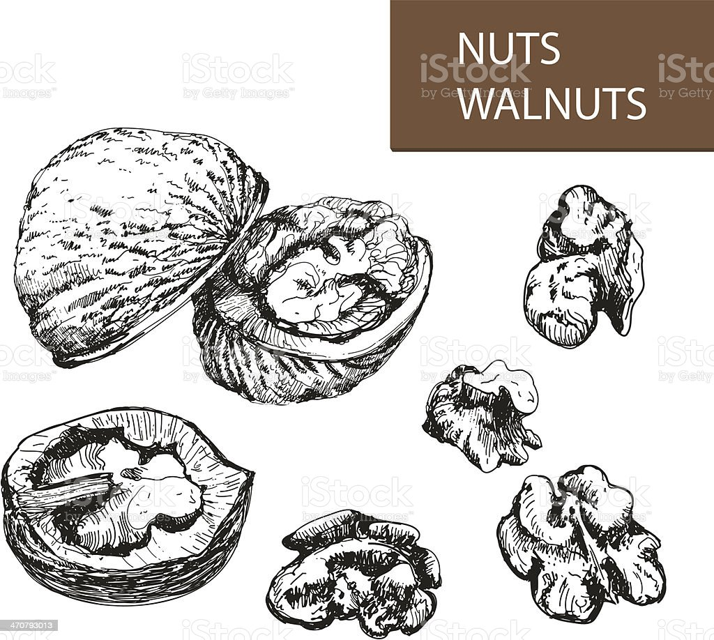 Nuts. Walnuts. vector art illustration