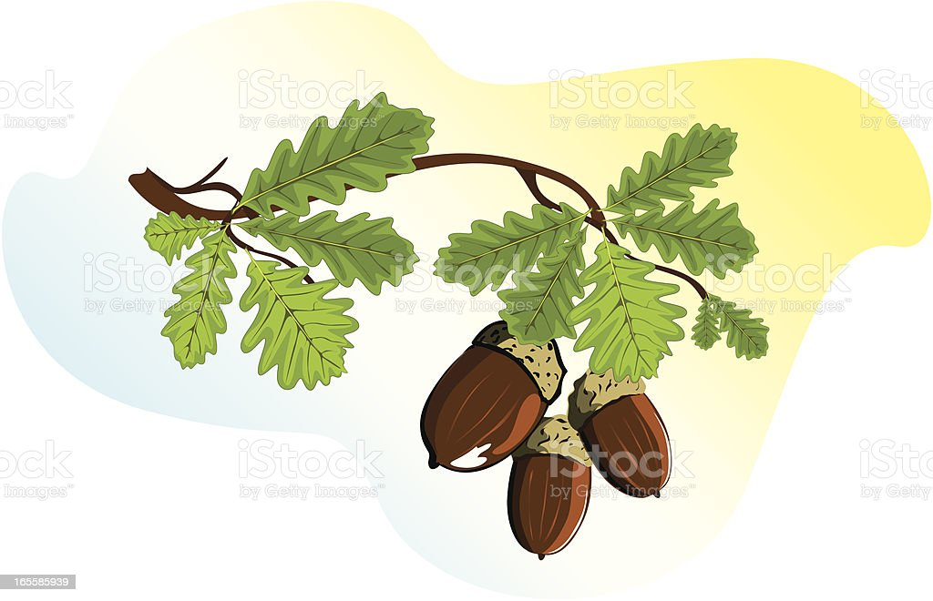 Oak branch with acorns royalty-free stock vector art
