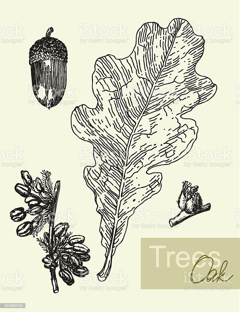 Oak leaf, flowers and  acorns isolated on white vector illustration vector art illustration