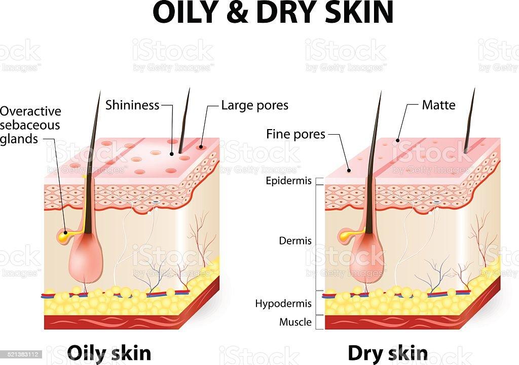 Oily & dry skin vector art illustration