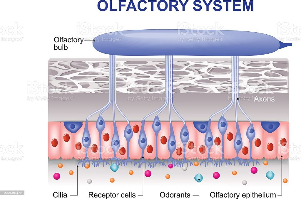 olfactory system vector art illustration