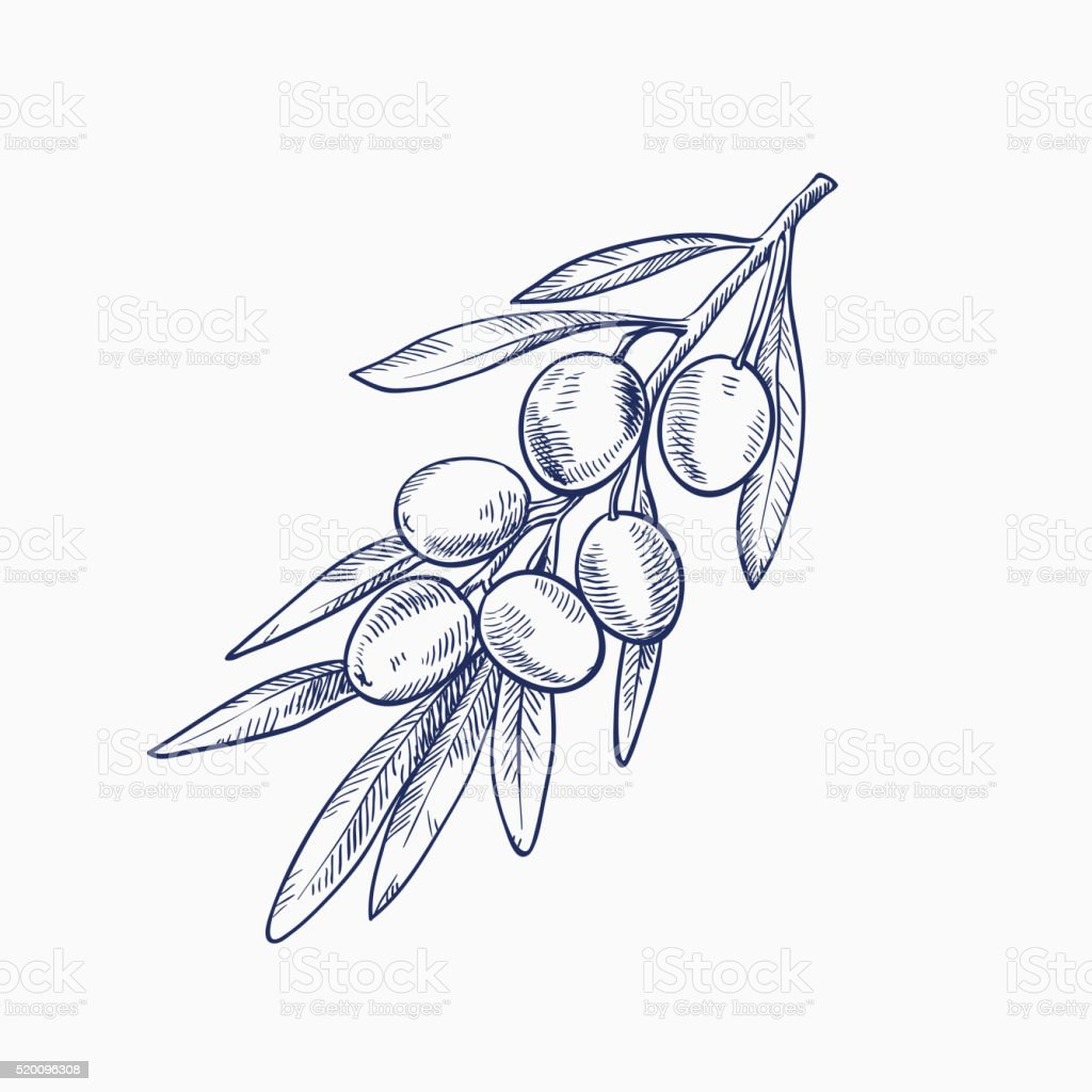 olive branch with olives vector art illustration