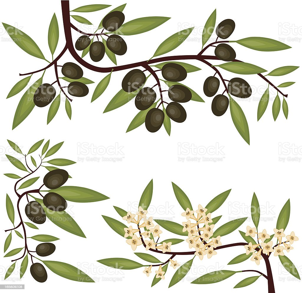 Olive Branches, Fruit and Blossom vector art illustration