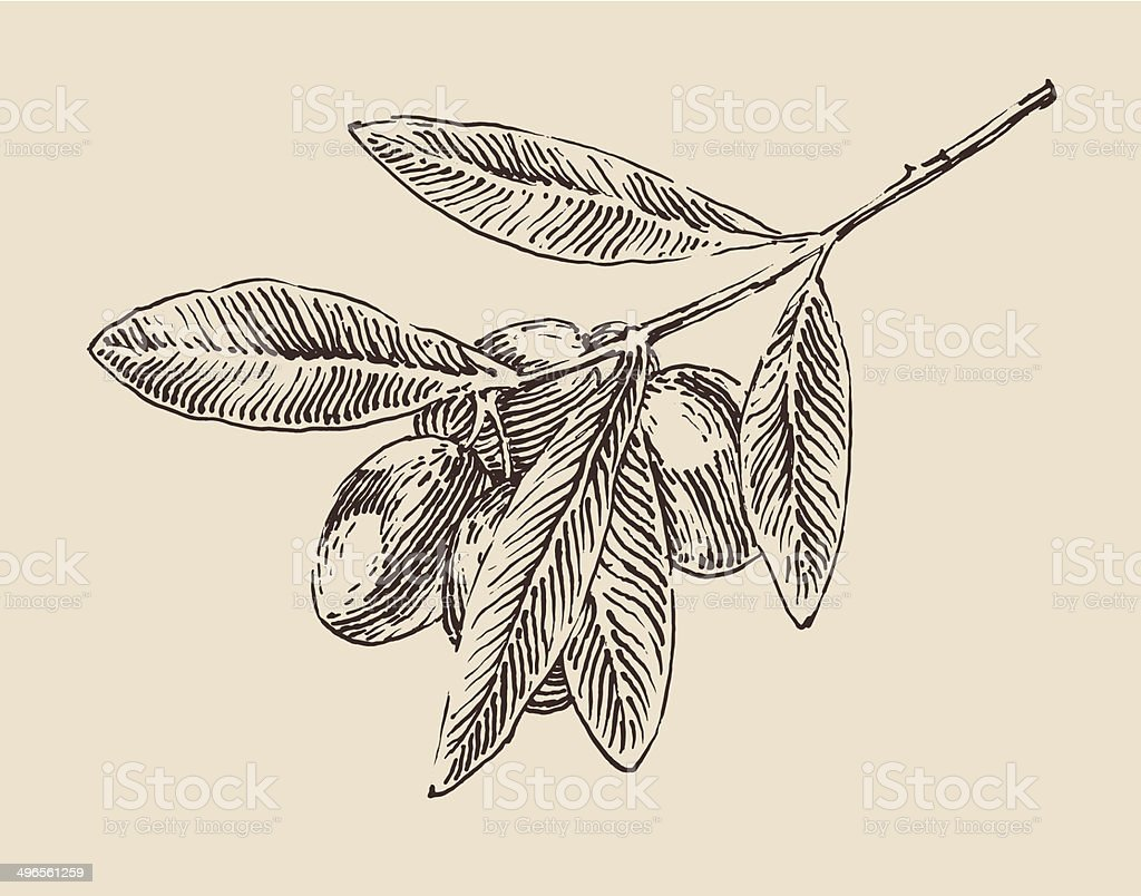 olive tree branches vintage illustration, engraved retro style vector art illustration