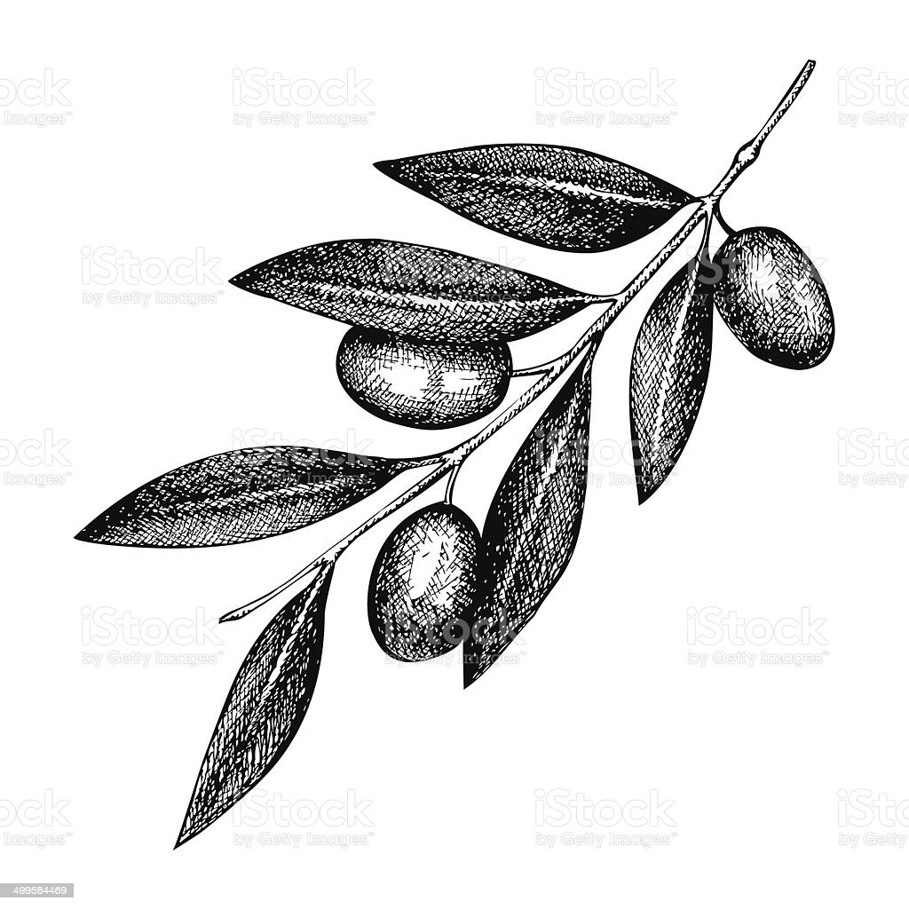 olive twig illustration vector art illustration