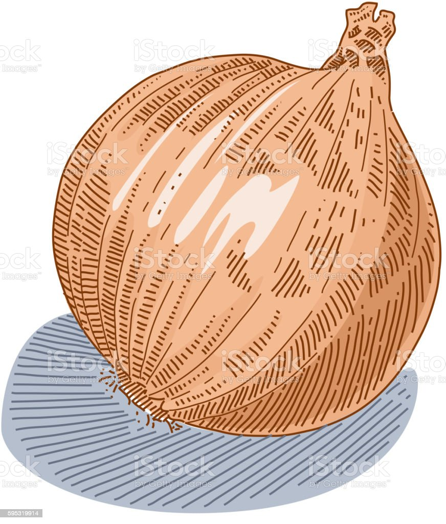 Onion Drawing vector art illustration