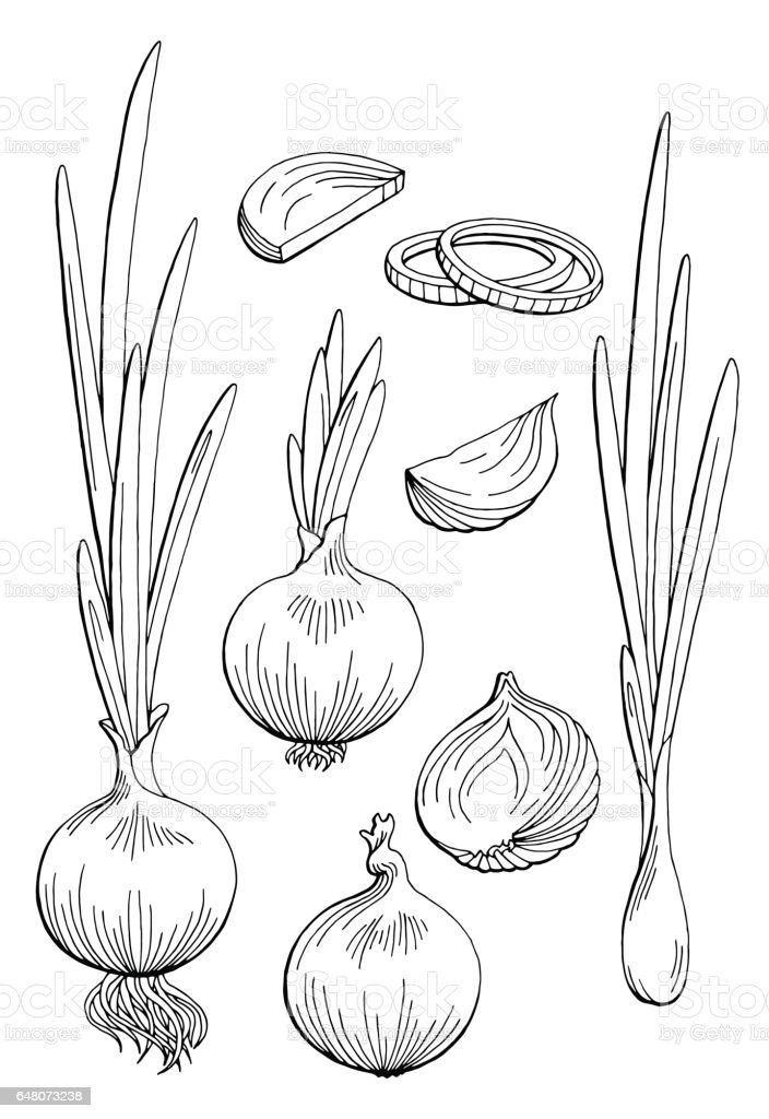 Onion graphic black white isolated sketch illustration vector vector art illustration