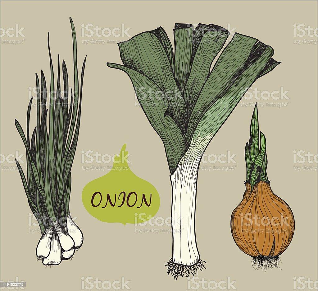 Onion. Set f illustrations vector art illustration