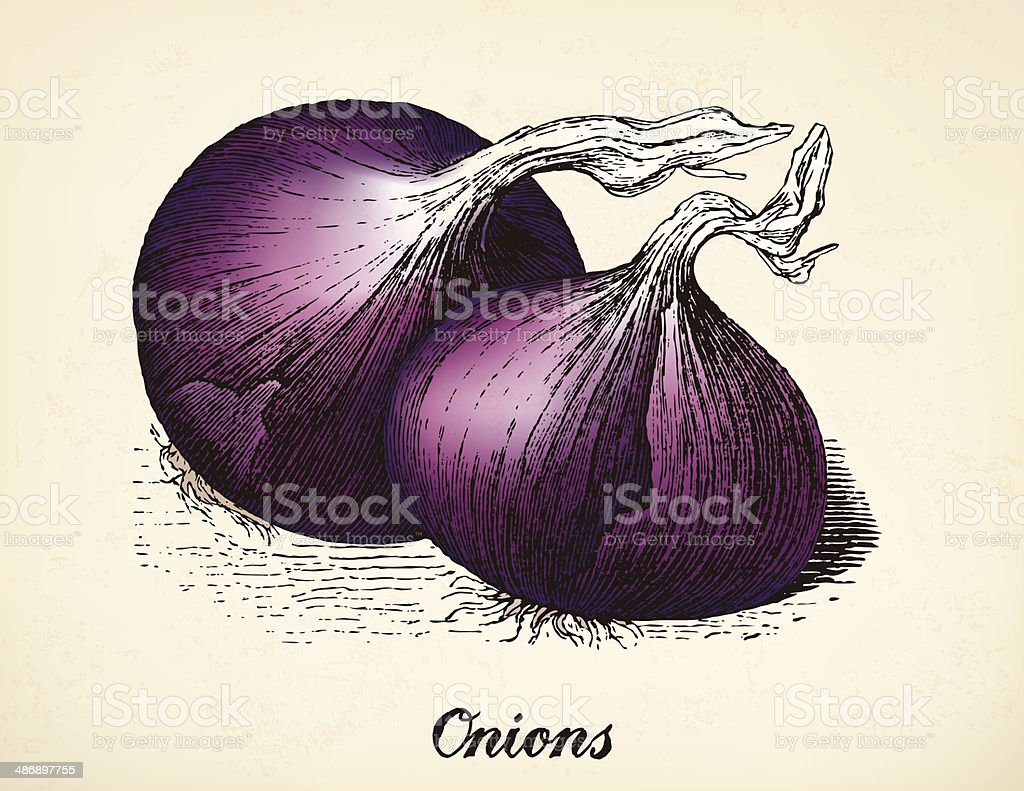 Onions vintage illustration vector vector art illustration