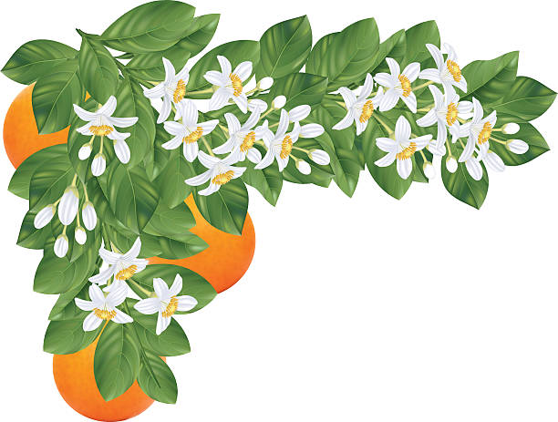 drawing of orange blossom tree clip art vector images
