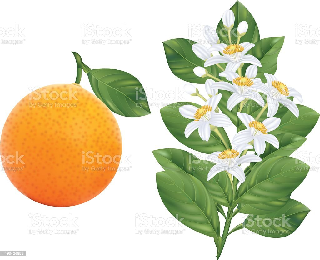 Orange Blossoms Branch and Fruit vector art illustration
