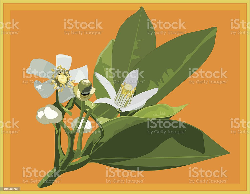 Orange Blossoms vector art illustration