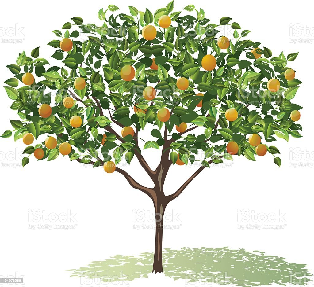 Orange Tree Full Bloom with leaves and fruit casting shadow royalty-free stock vector art
