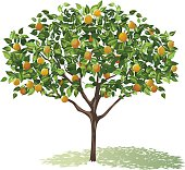 Orange Tree Full Bloom with leaves and fruit casting shadow