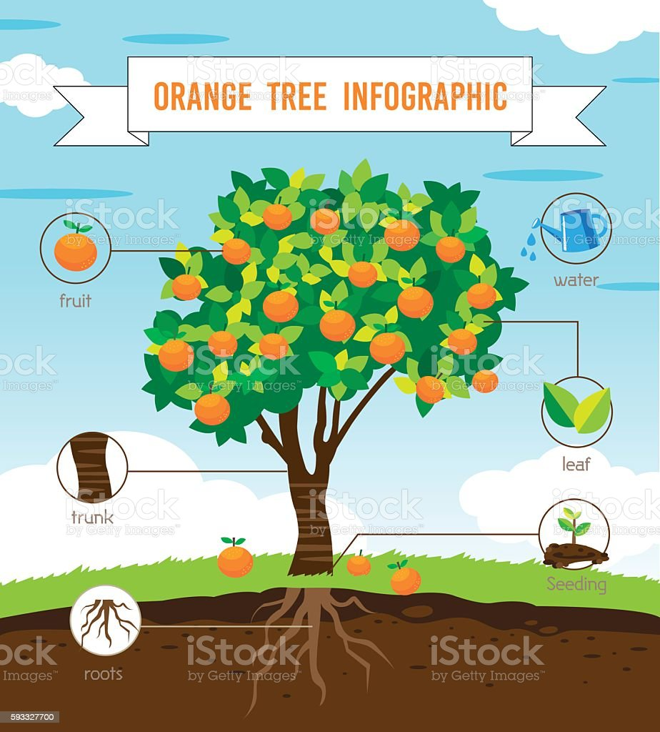 orange tree infographic vector art illustration