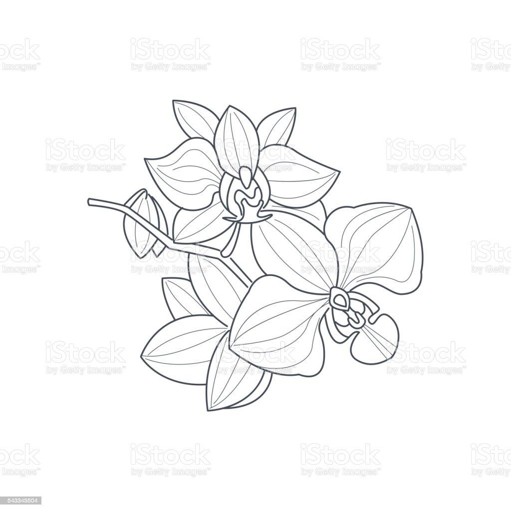 orchidée fleur dessin camaïeu pour livre de coloriage stock