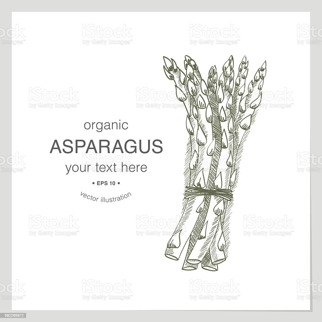 Organic asparagus sketch vector art illustration