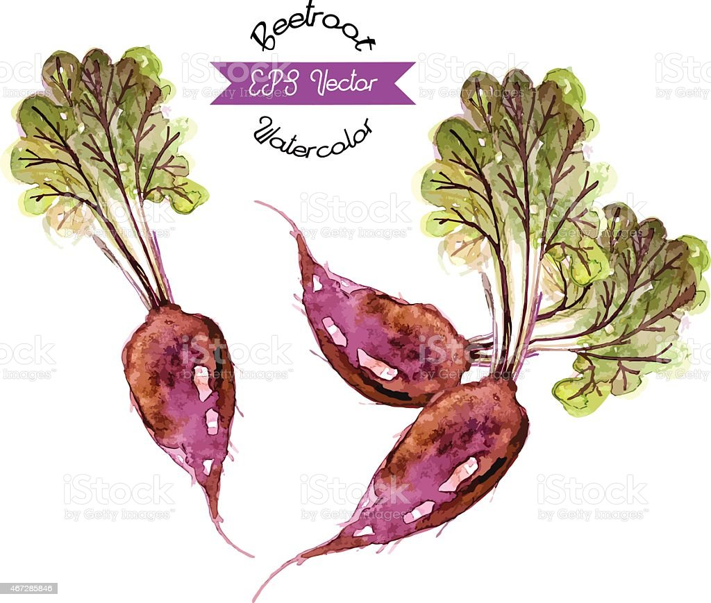 Organic beetroot, watercolor vector illustration vector art illustration
