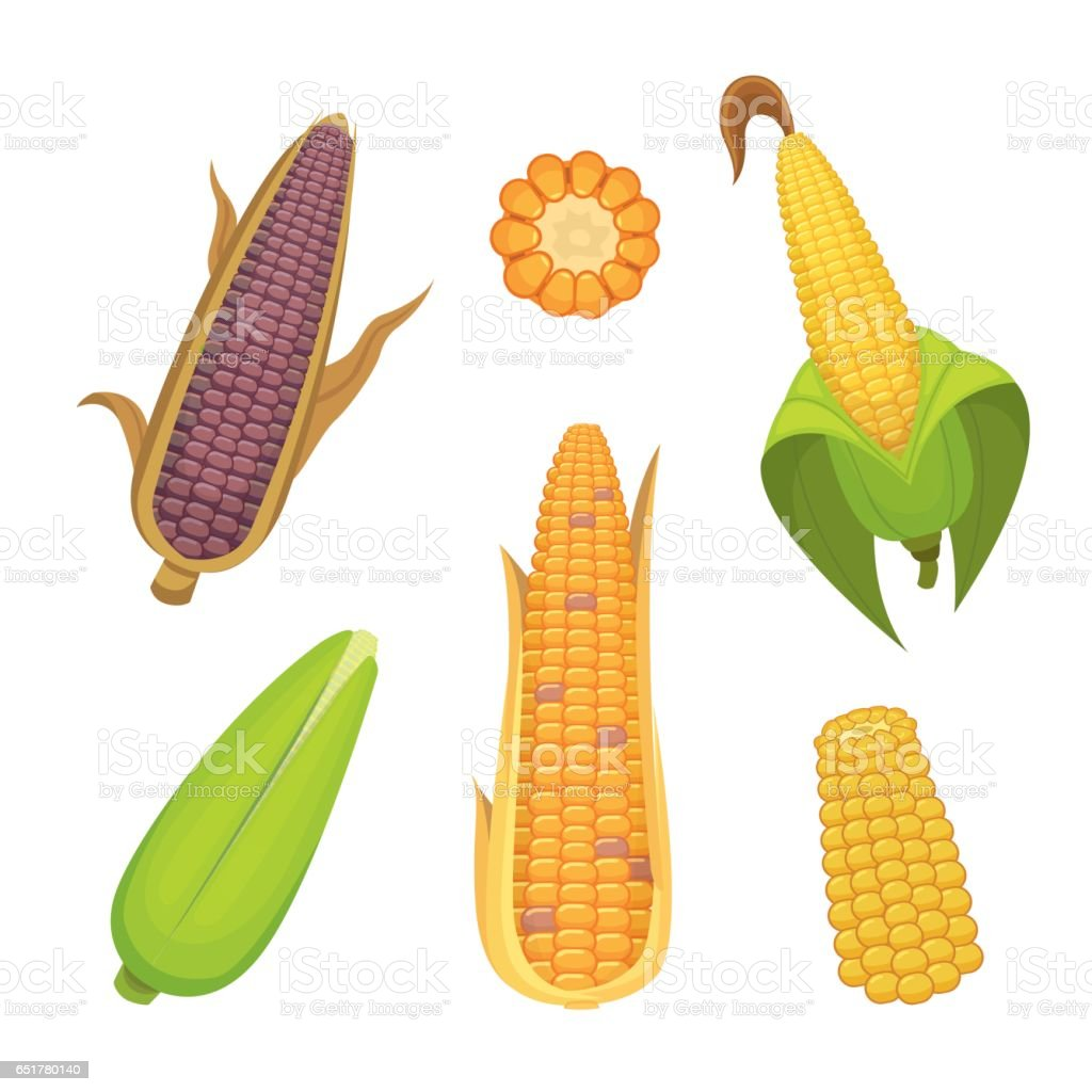 Organic Corn Isolated on White Background. Agriculture farm vegetable for popcorn vector. Corncob with leafs vegeterian food illustration vector art illustration