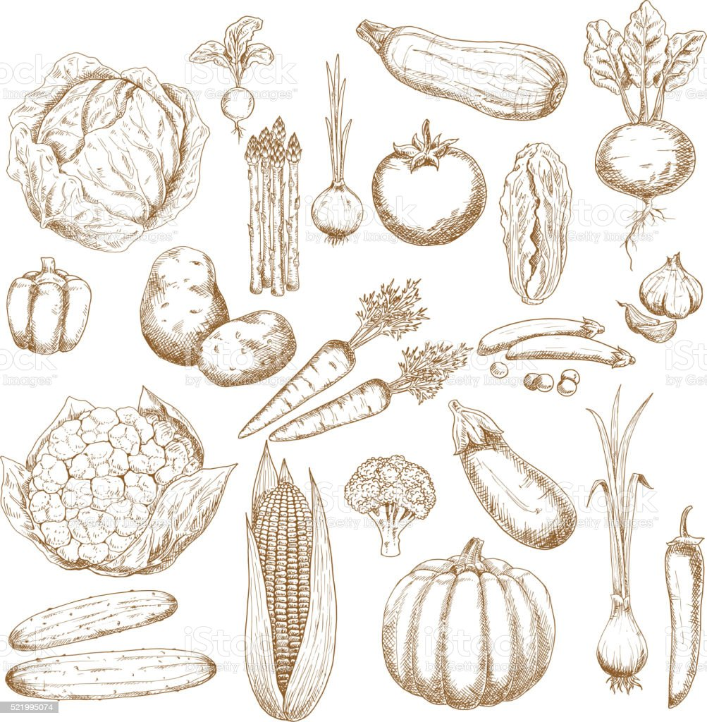Organically healthy vegetables retro sketches vector art illustration