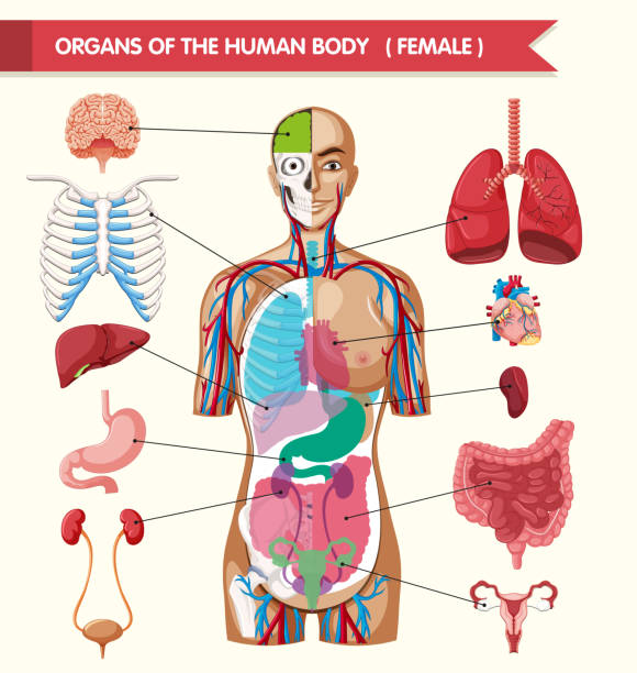 Background Of A Female Organs Diagram Clip Art Vector Images
