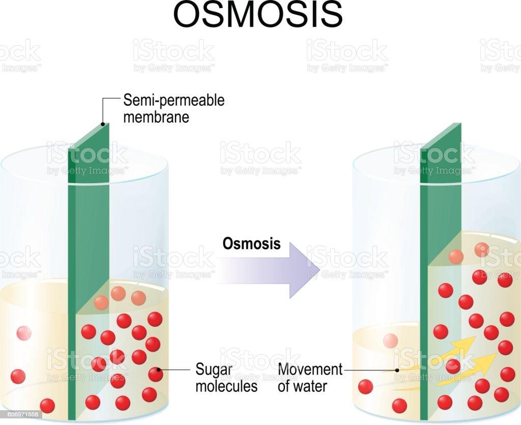Osmosis vector art illustration