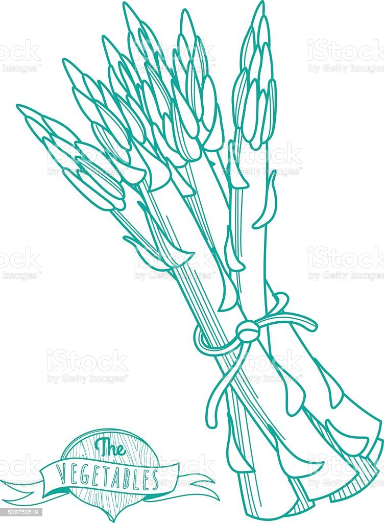 Outline hand drawn sketch of asparagus (flat style, thin  line) vector art illustration