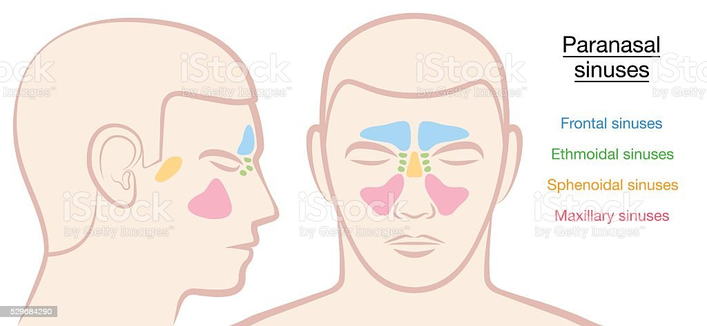 Paranasal Sinuses Male Face vector art illustration