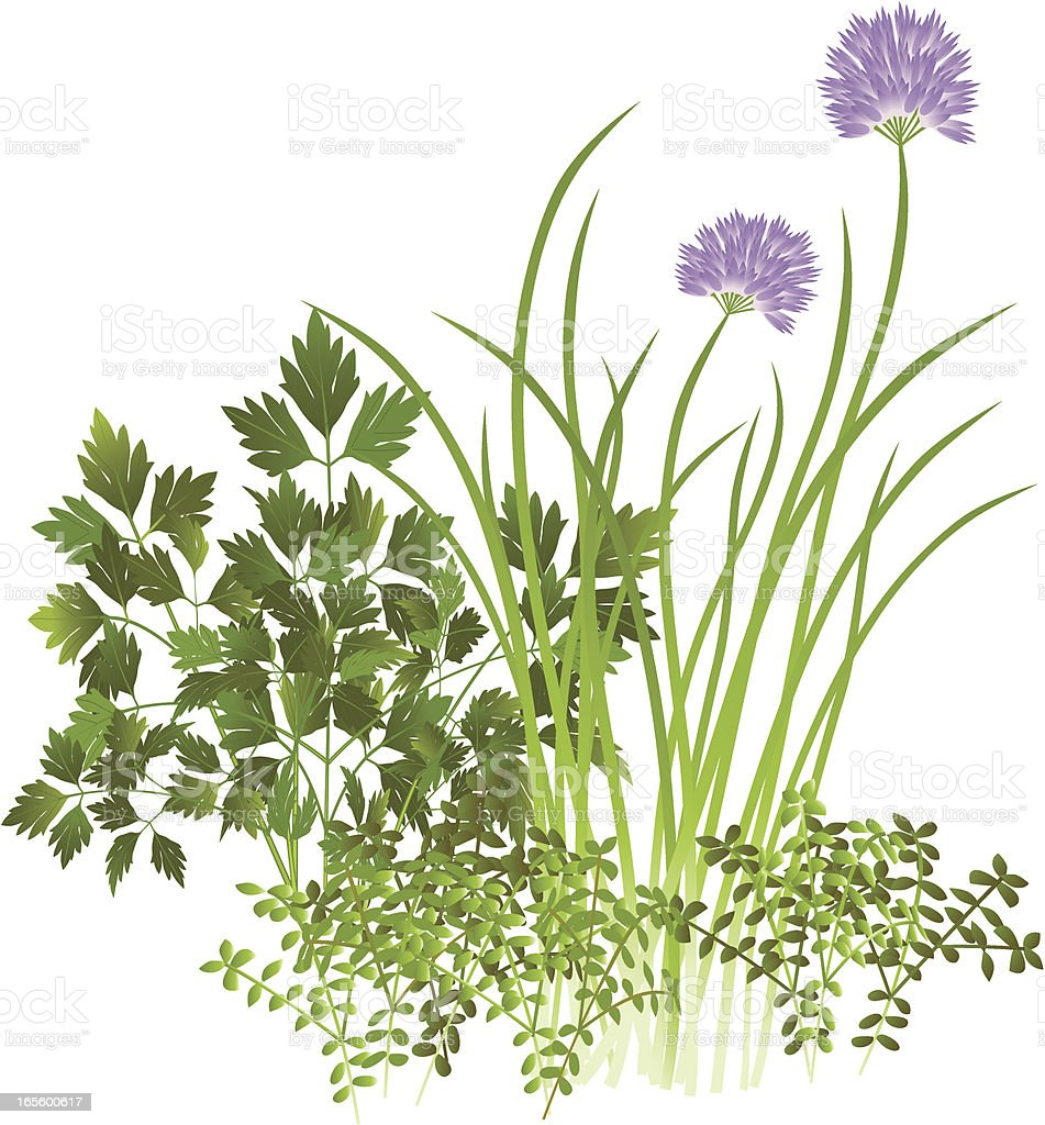Parsley, Chives and Thyme vector art illustration