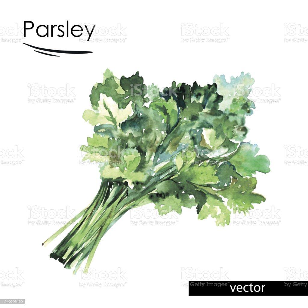 parsley color illustration vector art illustration