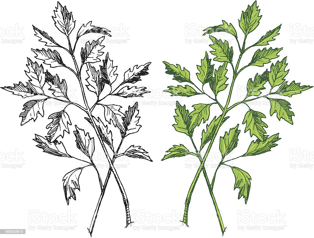 Parsley - Herb Spice vector art illustration
