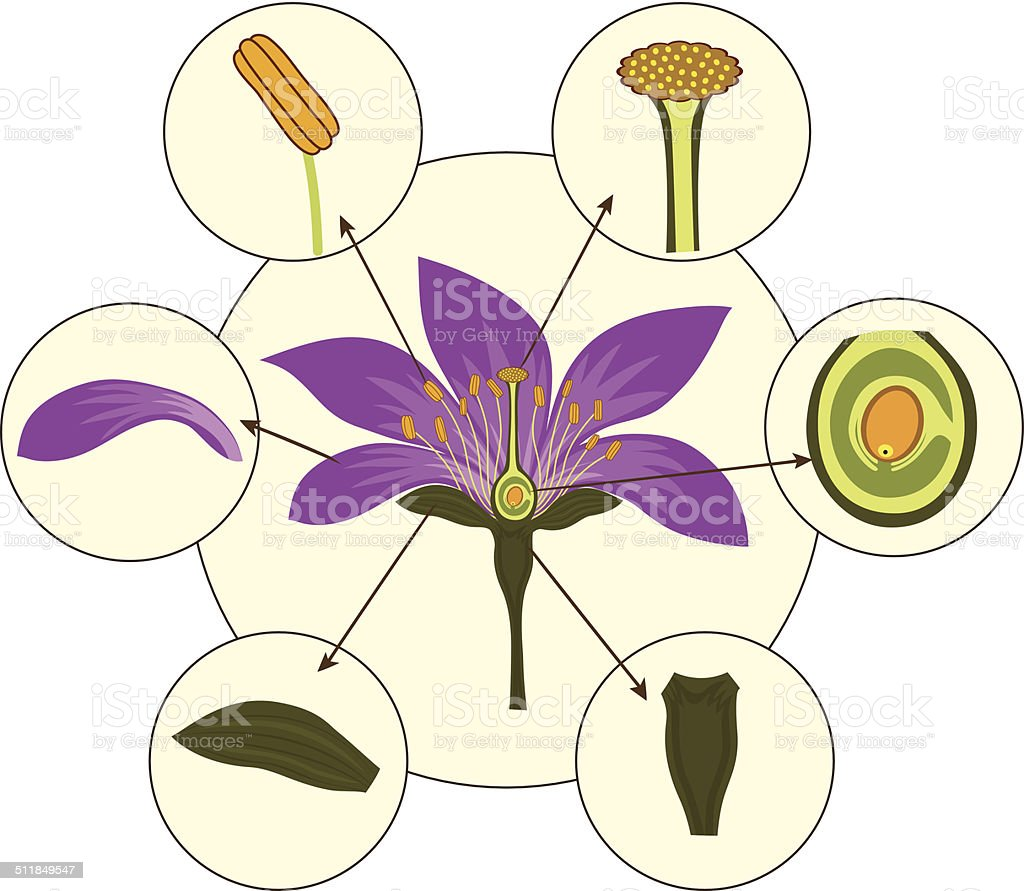 Parts of a typical flower- Morphology of a flower vector art illustration