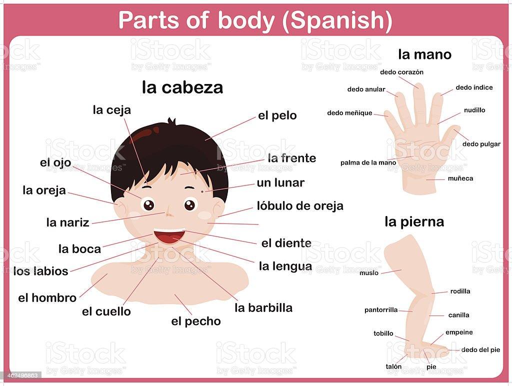Parts of body - Spanish language royalty-free stock vector art