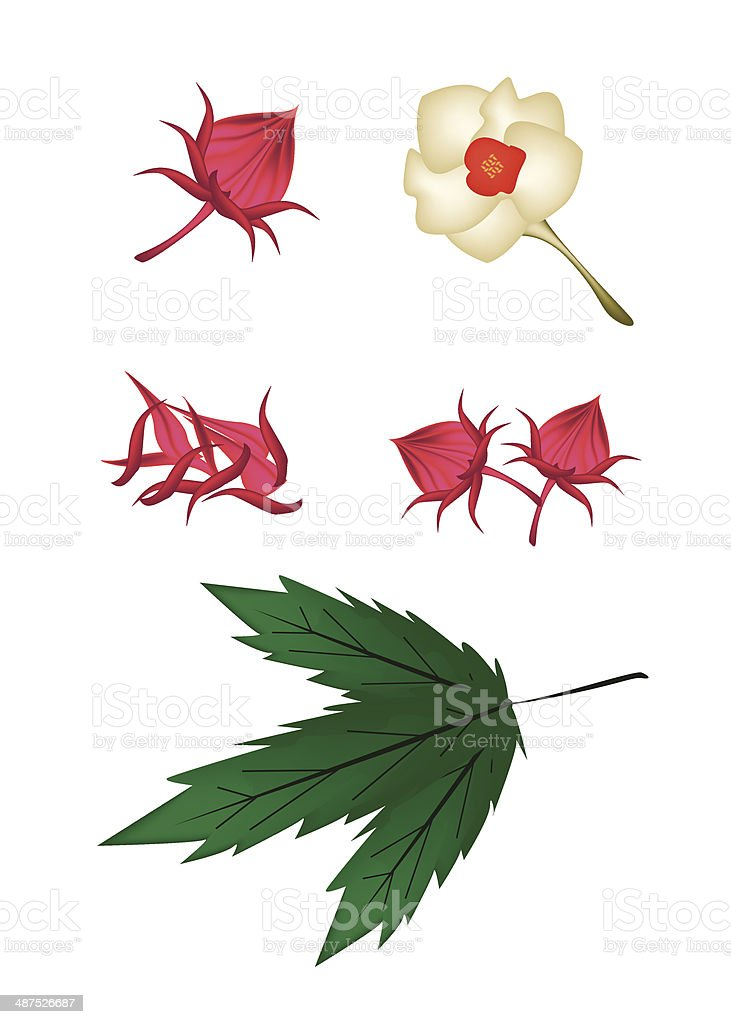 Parts of Hibiscus Sabdariffa or Roselle Plant royalty-free stock vector art