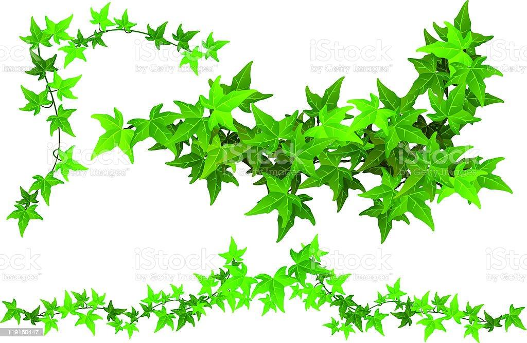 Parts of Ivy vector art illustration