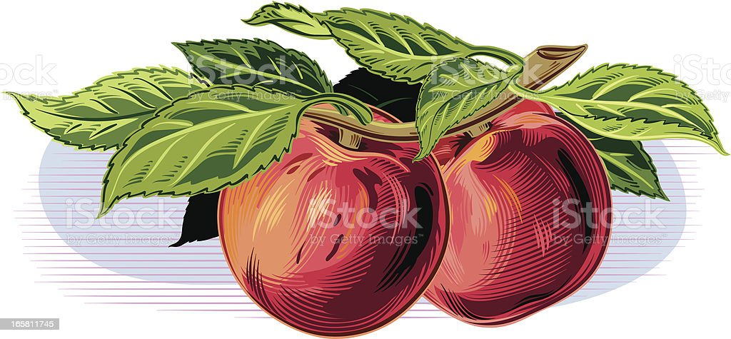 peaches on a branch royalty-free stock vector art