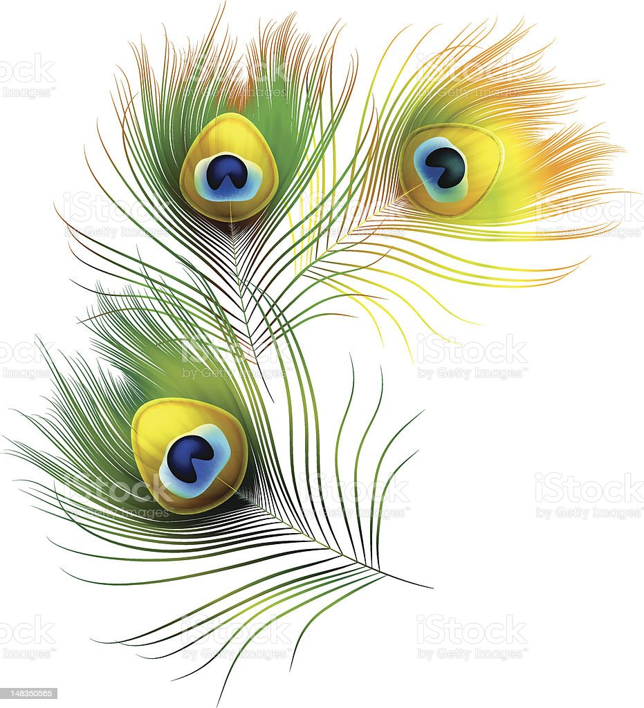 Peacock feathers on a white background royalty-free stock vector art