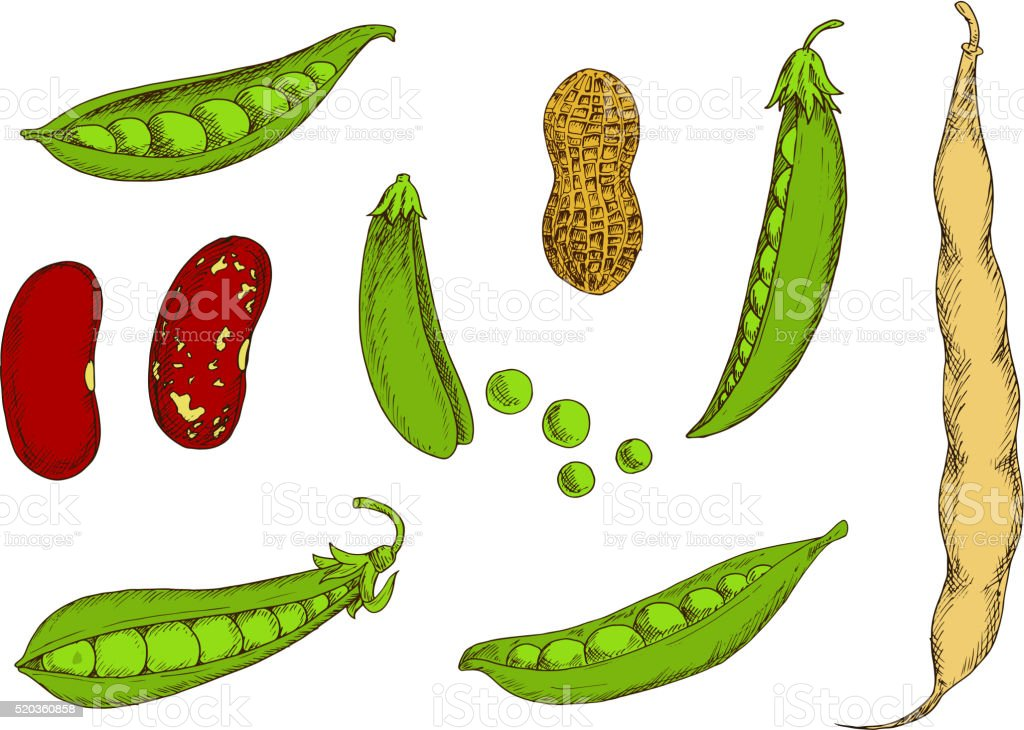 Peanut, sweet green peas and beans sketch vector art illustration